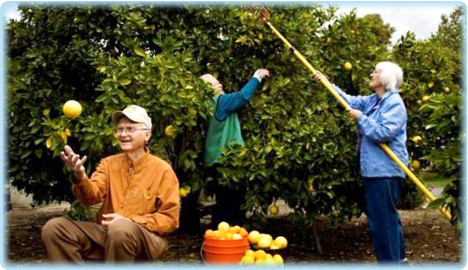 elderly people harvesting fruits